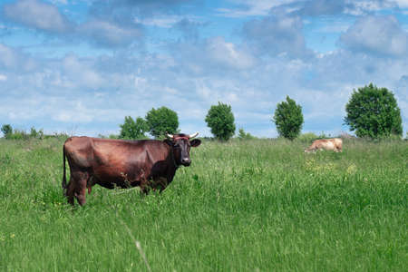 Brown cow grazing on the green forest