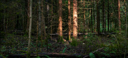 Trunks of old spruce trees illuminated by sun beam in the wild summer forest Stock Photo