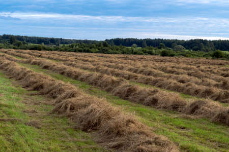 Rows of collected hay on the agricultural field at countryside Stock Photo