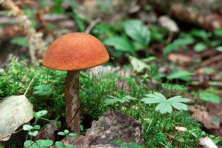 Mushroom Orange-cap boletus growing in the forest