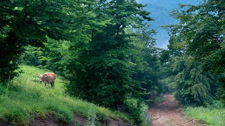 Beautiful summer landscape with an orange cow grazing in early morning in the mountain forest in Armenia