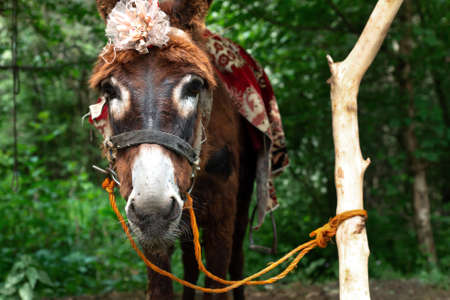 Small brown donkey stands tied to a tree Stock Photo
