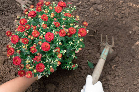 Gardener's hands planting red chrysanthemums into the garden bed after loosening the ground with a hoe close up. Horticulture and gardening.