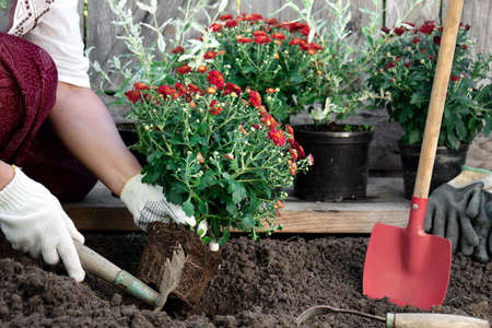 Woman wearing protective garden gloves planting flowers in the garden in spring or summer outdoors. Horticulture and gardening Фото со стока