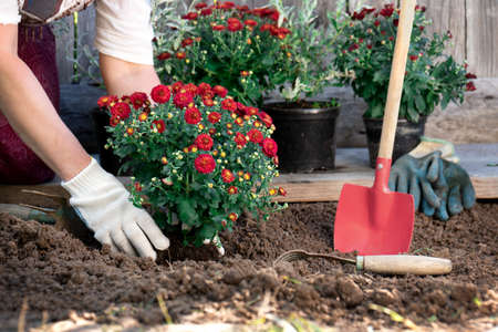 Female hands wearing protective garden gloves planting flowers in the garden in spring or summer outdoors. Horticulture and gardening