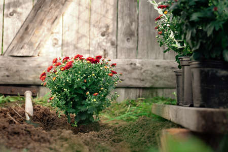 Planting of the red chrysanthemums in the spring garden on the wooden background Фото со стока