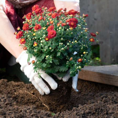 Close up of woman's hands planting red chrysanthemum flowers in the garden in spring or summer. Horticulture and gardening