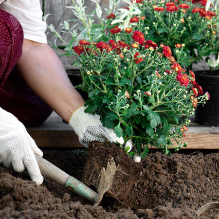 Close up of gardener's hands wearing protective garden gloves planting flowers in the garden in spring or summer outdoors. Horticulture and gardening