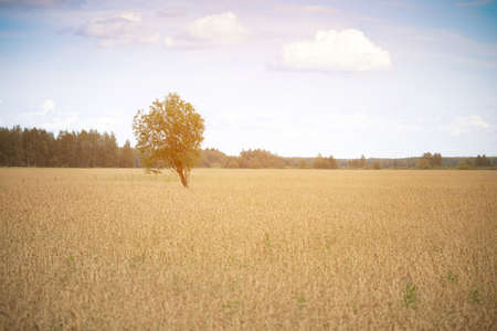 Single tree stands in the golden wheat field at the countryside in summer
