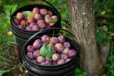 Fresh plums just picked from the tree in plastic buckets Фото со стока