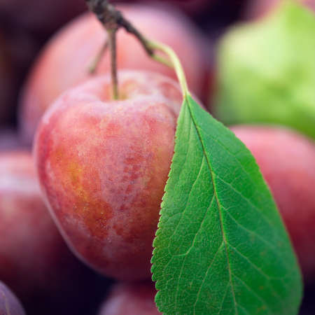 Macro photo of a ripe fresh plum with a green leaf just picked from the tree Фото со стока