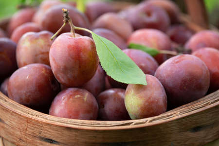 Fresh plums just picked from the tree in the straw basket Фото со стока