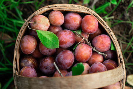Fresh plums just picked from the tree in the straw basket outdoors.