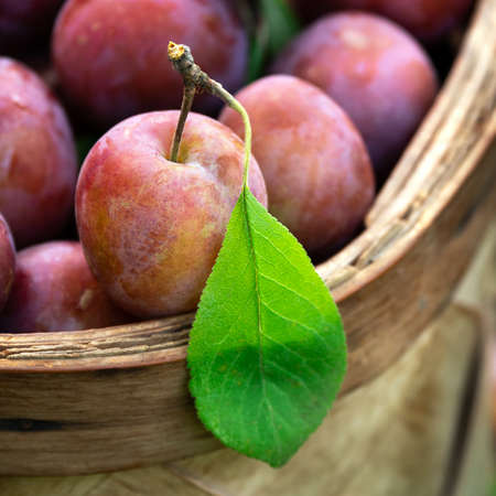 Close up of ripe fresh plums just picked from the tree in the straw basket outdoors.