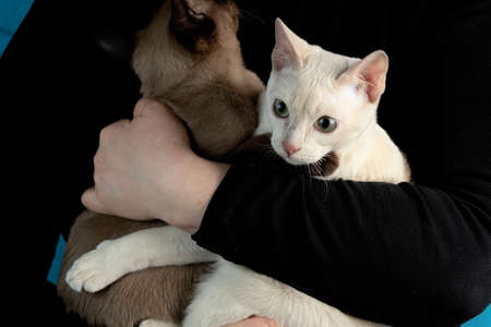 Two young thoroughbred tonkinese female cats of fawn and seal mink colors in female hands on the dark black background