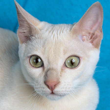 Portrait of a young purebred tonkinese cat of a fawn mink color on the blue background close up