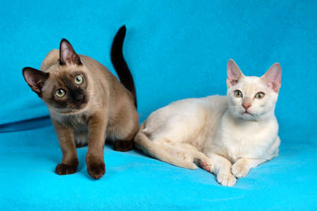 Two young thoroughbred tonkinese female cats of fawn and seal mink colors sitting on the blue cloth background