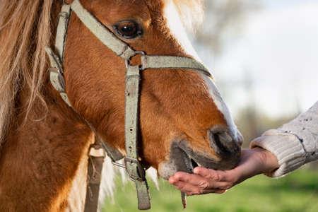 Female hand feeds a pony horse from her hand outdoors Zdjęcie Seryjne