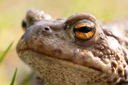 Portrait of a half-turn of a common toad macro outdoors