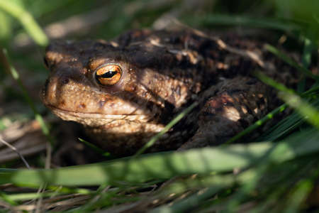 Toad sitting in green grass with shadows on its face Zdjęcie Seryjne