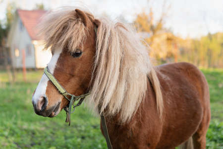 Pony horse stands on a green pasture with a village house on the background Zdjęcie Seryjne