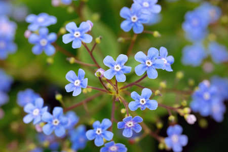 Forget-me-not blue flowers blossoming in spring garden Zdjęcie Seryjne