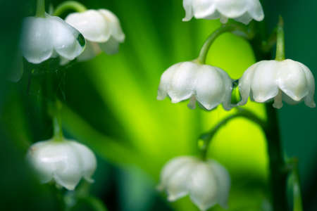 Blossoming lily of the valley flowers with rain drops macro
