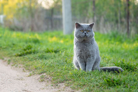 British male shorthair cat sitting on the grass outdoors