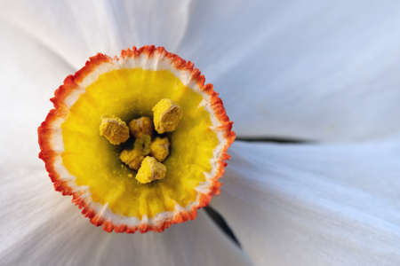 Colorful pistils and stamens of a blossoming narcissus flower macro