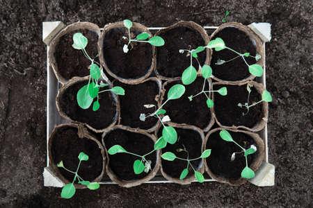 Cabbage seedlings in peat pots in wooden box standing on a soil before planting Zdjęcie Seryjne