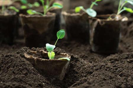 Planting vegetable seedlings grown in peat pots Zdjęcie Seryjne