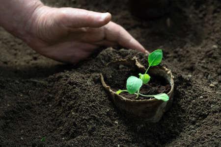 Gardeners hand panting vegetable seedlings grown in peat pots Zdjęcie Seryjne