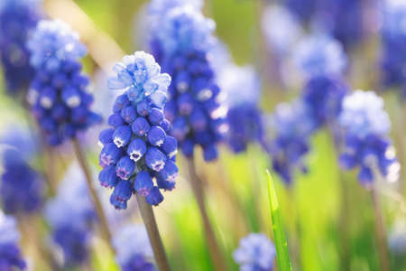 Flowers of the muscari mouse hyacinth blooming outdoors in spring macro