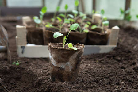 Vegetable seedling in a peat pot is going to be planted into the ground Zdjęcie Seryjne