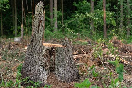 Stump of a newly cut tree after deforestation Zdjęcie Seryjne