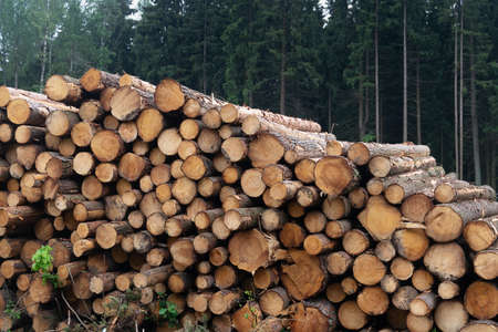 Freshly cut logs are piled up near a forest in the summer. Deforestation in Russia