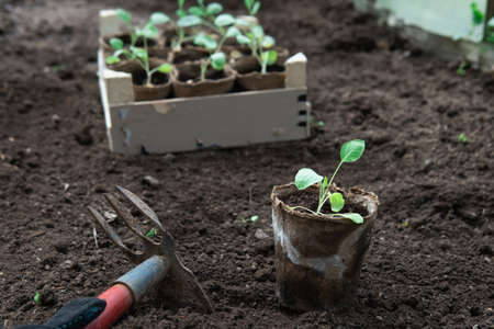 Vegetable seedling in a peat pot and a hoe on the ground