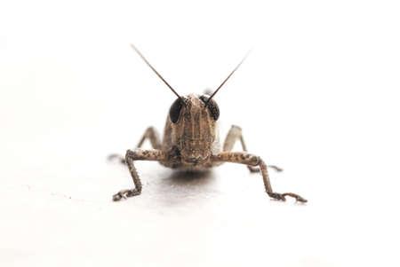 Grasshopper, Locust close-up photo