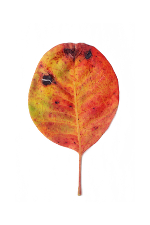 spoiling: Decaying autumn leaf, isolated on white background. Stock Photo
