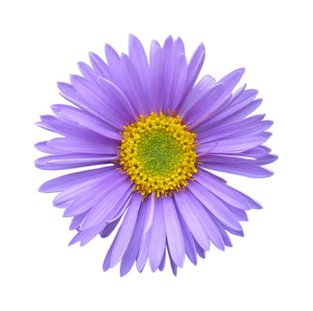The flower of an aster isolated on a white background Stock Photo