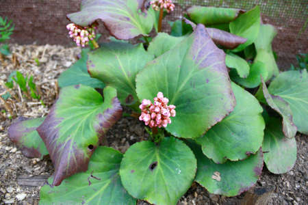 Blossoming bergenia close up growing in a garden