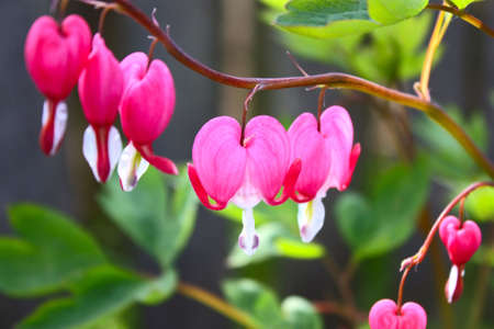 Pink flower in the form of heart of dicentra close up Stock Photo