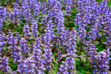 creeping plant: Continuous background from blue flowers of a creeping plant Stock Photo
