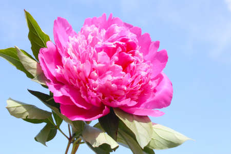 Beautiful pink peony with leaves on a background of the sky Stock Photo