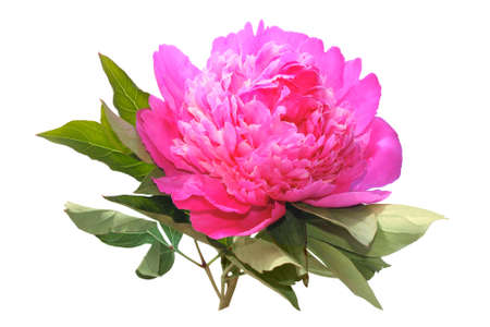 botanica: Pink peony isolated on a white background Stock Photo