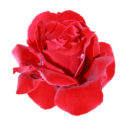 Beautiful red rose with dewdrops isolated on a white background Stock Photo