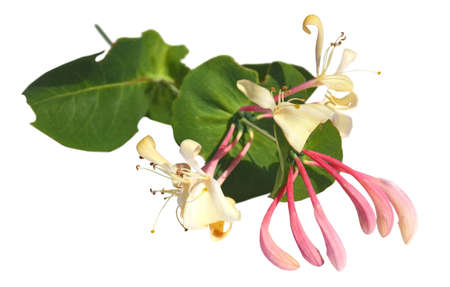 Branch of a blossoming honeysuckle isolated on a white background