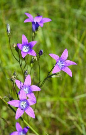 Blossoming branch of beautiful field handbells