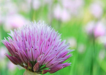 Blossoming onions close up on the blur background photo