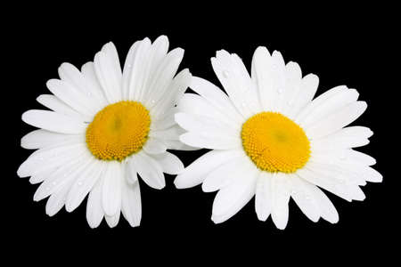 Two white camomiles isolated